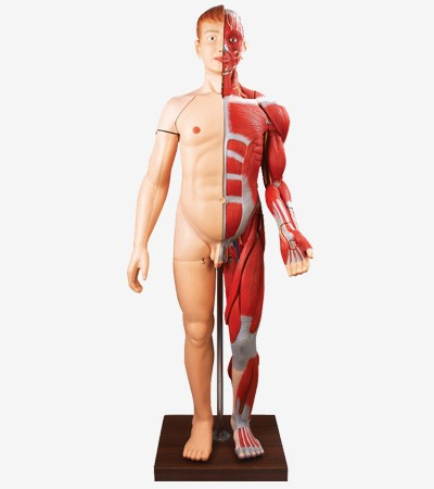 0001472_gda10001170cm_human_body_muscles_with_internal_organs