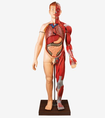 0001473_gda10001170cm_human_body_muscles_with_internal_organs