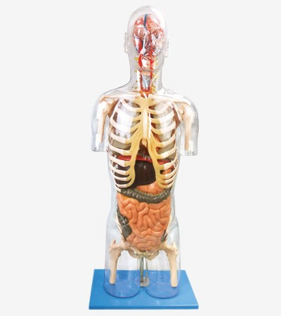 0001482_gda10004_transparent_torso_with_internal_organs