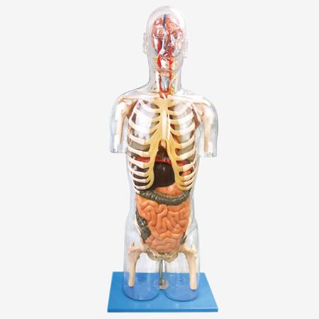 0001482_gda10004_transparent_torso_with_internal_organs