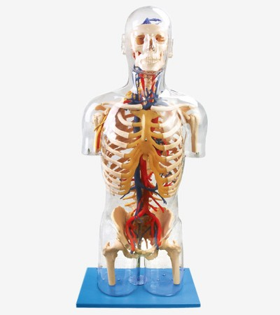 0001484_gda10005_transparent_torso_with_main_neural_and_vascular_structures