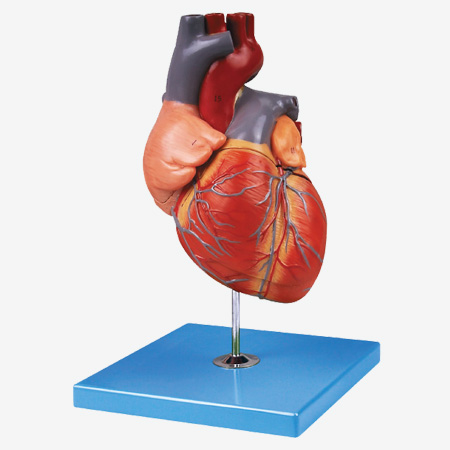 0001554_gda16007_adult_heart_model