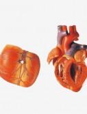0001619_gda16007_adult_heart_model