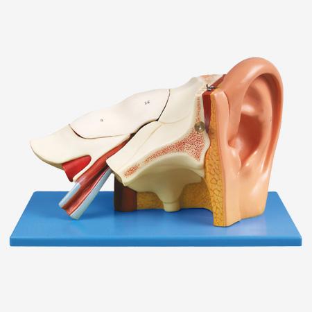 0001717_gda17201_ear_anatomy