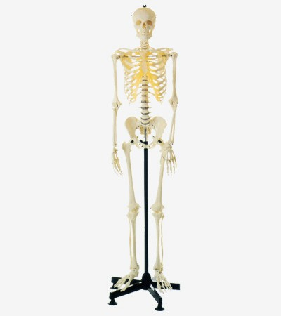 0002073_gda11101-artificial-human-skeleton