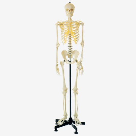 0002073_gda11101-artificial-human-skeleton