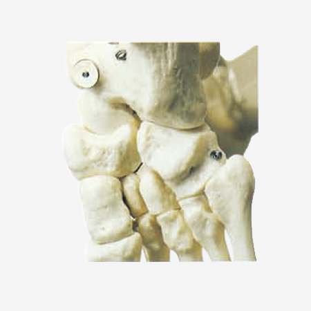 0002081_gda11101-artificial-human-skeleton