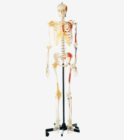 0002083_gda11102_human_skeleton_with_one_side_painted_muscles