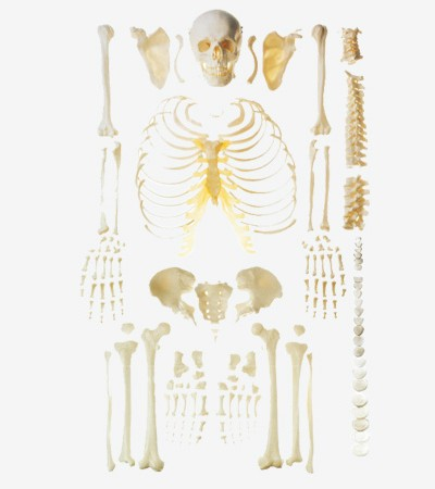 0002084_gda11103_scattered_bone_model_of_human_skeleton_free_bone
