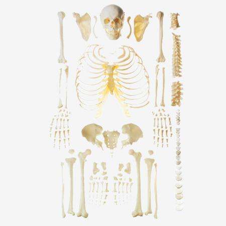 0002084_gda11103_scattered_bone_model_of_human_skeleton_free_bone