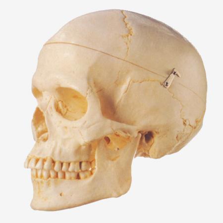0002091_gda11110_adult_skull