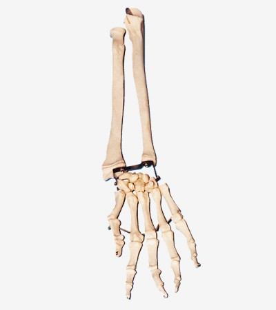 0002100_gda11125_palm_bone_with_elbow_bone_and_radial_bone
