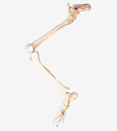 0002105_gda11130_bones_of_lower_limb_with_hip_bone