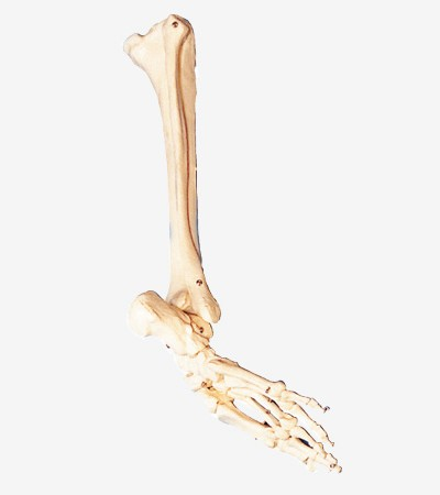 0002107_gda11132_bones_of_foot_calf_bone_and_shinbone_model