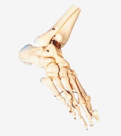 0002108_gda11133_bones_of_foot
