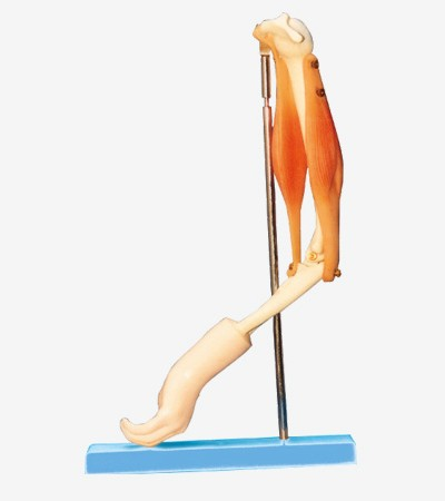 0002110_gda11210_elbow_joint_with_functional_muscles