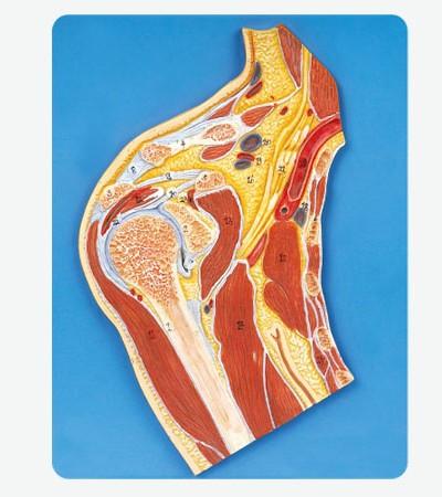 0002112_gda11202_shoulder_joint_section