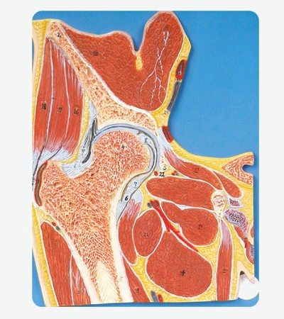 0002115_gda11205_hip_joint_section
