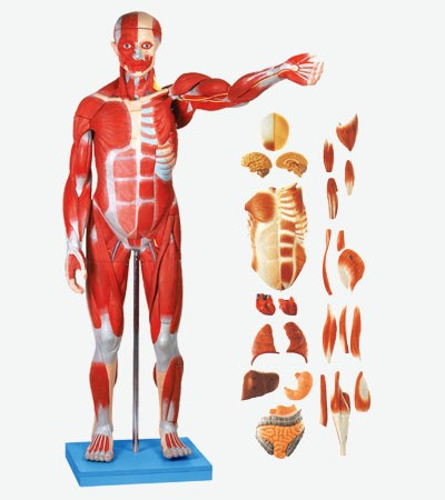 0002118_gda11301_muscles_of_male_with_internal_organs