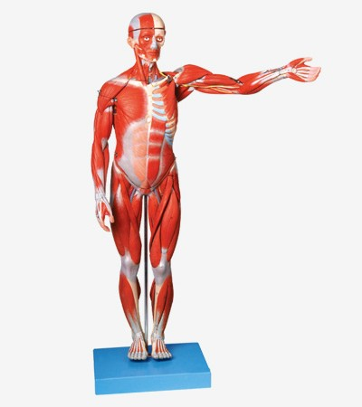 0002119_gda11302_muscles_of_male