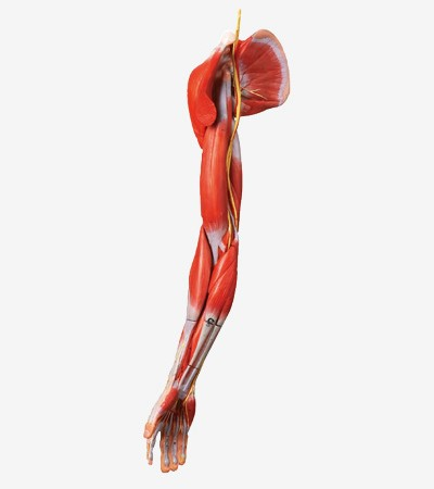 0002120_gda11305_muscles_of_arm_with_main_vessels_and_nerves