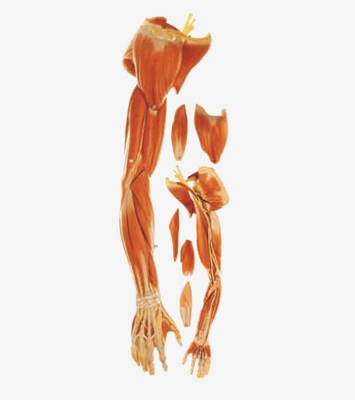 0002121_gda11305_muscles_of_arm_with_main_vessels_and_nerves
