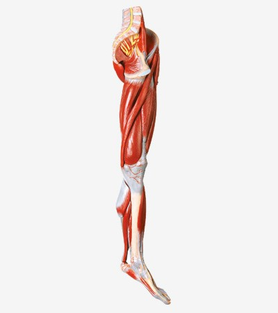 0002122_gda11308_muscles_of_leg_with_main_vessels_and_nerves