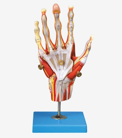 0002124_gda11307_muscles_of_hand_with_main_vessels_and_nerves
