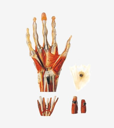 0002125_gda11307_muscles_of_hand_with_main_vessels_and_nerves