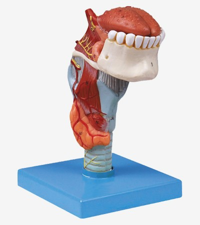 0001487_gda13003_larynx_with_toungue_and_teeth