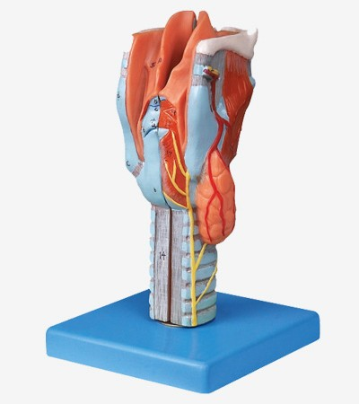 0001521_gda13004_larynx